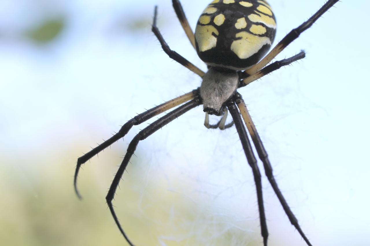 Digital Photography Black And Yellow Garden Spider Argiope Aurantia