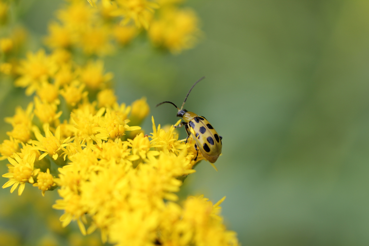 Digital Photography Cucumber Beetle On Yellow Flowers