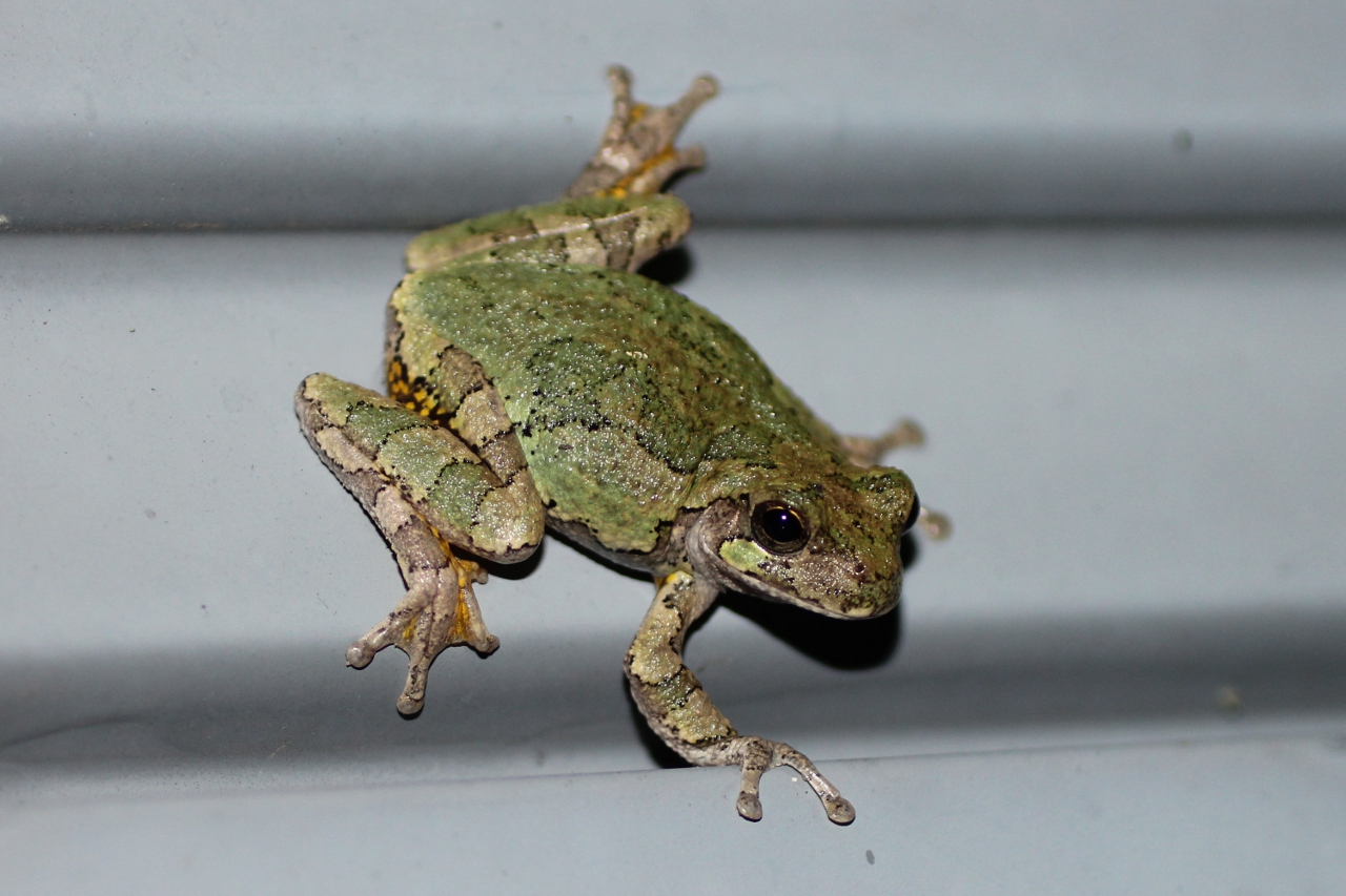 Gray tree frog - photo#13