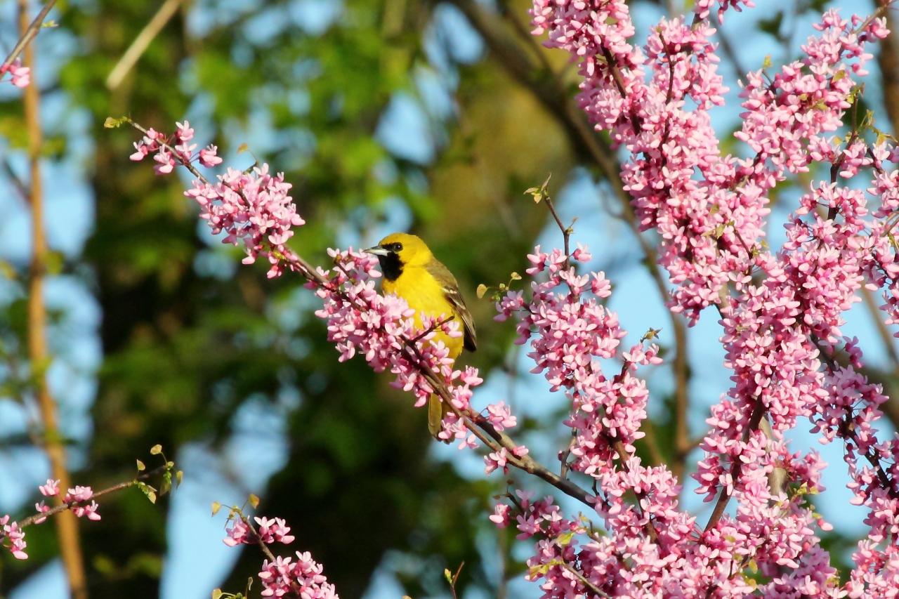 Juvenile orchard oriole