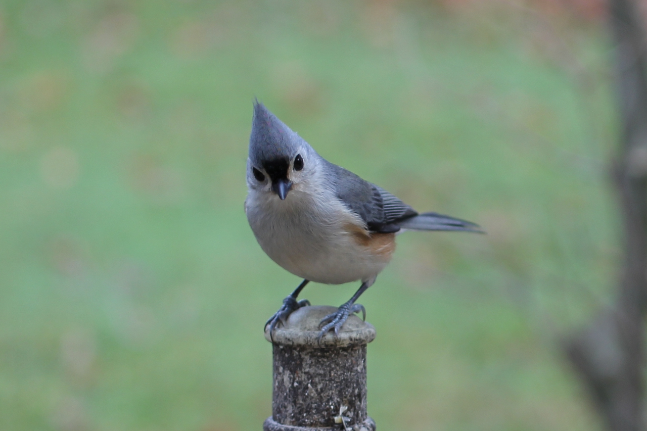 Digital photography tufted titmouse at feeder tufted titmouse at feeder sciox Images