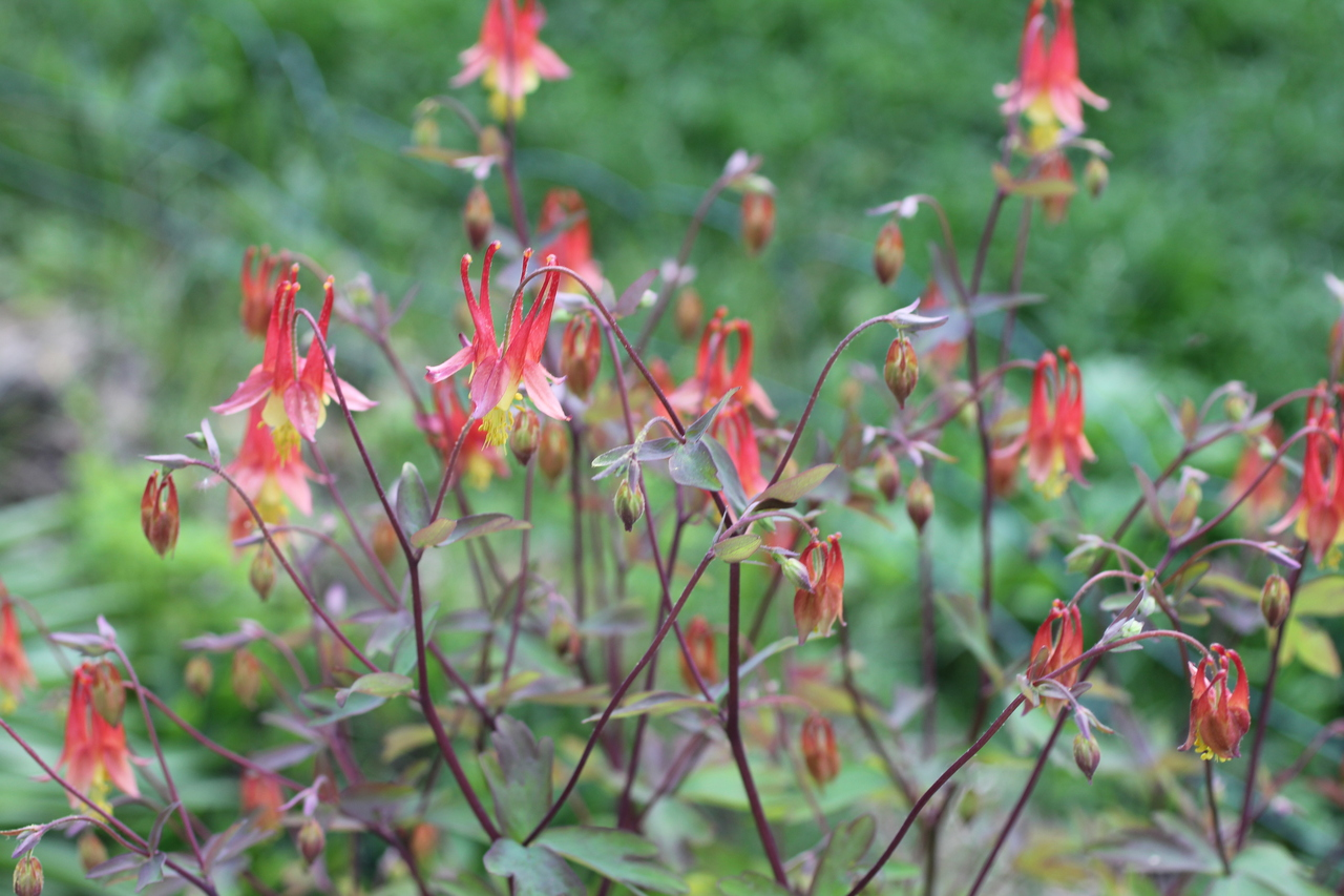 Digital Photography Wild Columbine Flowers